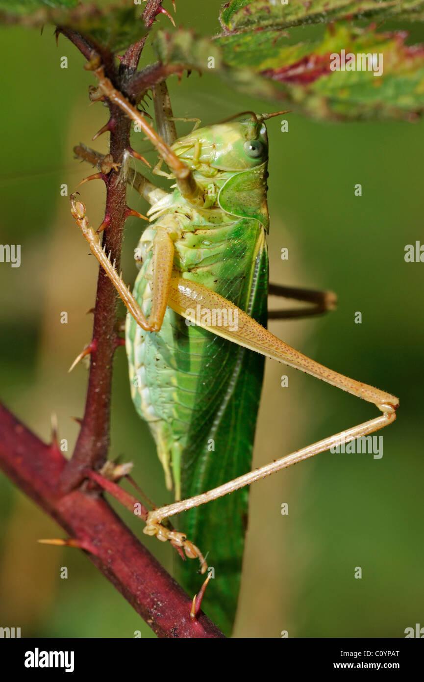 Große grüne Bush Cricket (Tettigonia Viridissima) männlich auf Blackberry Busch Stockbild