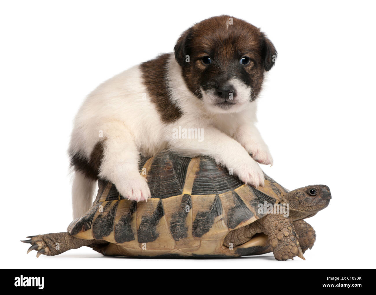 The Fox Terrier Dog Stockfotos & The Fox Terrier Dog Bilder - Alamy