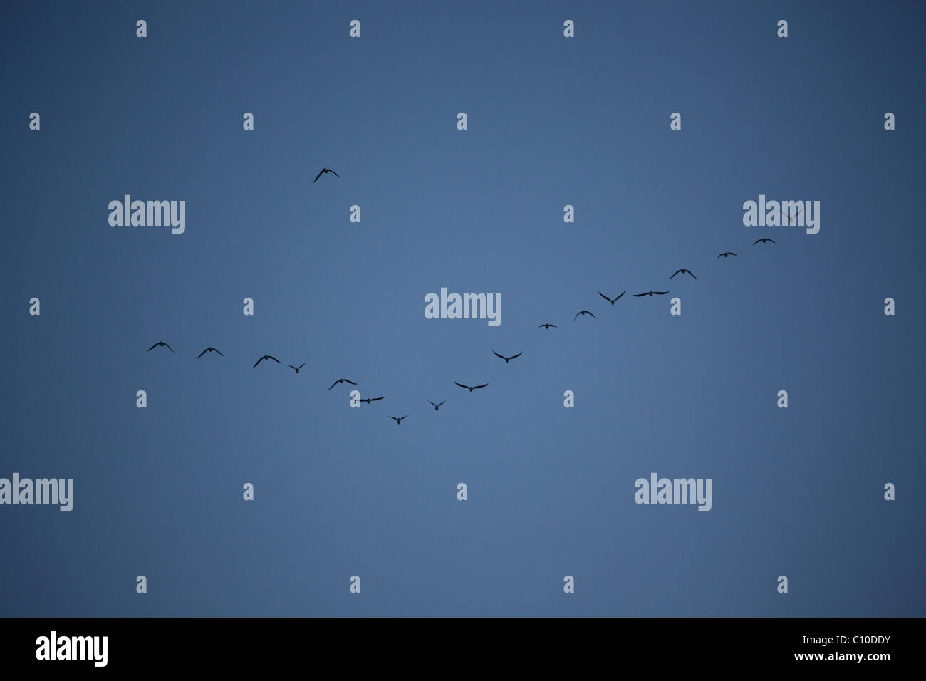 formation birds stockfotos formation birds bilder alamy. Black Bedroom Furniture Sets. Home Design Ideas