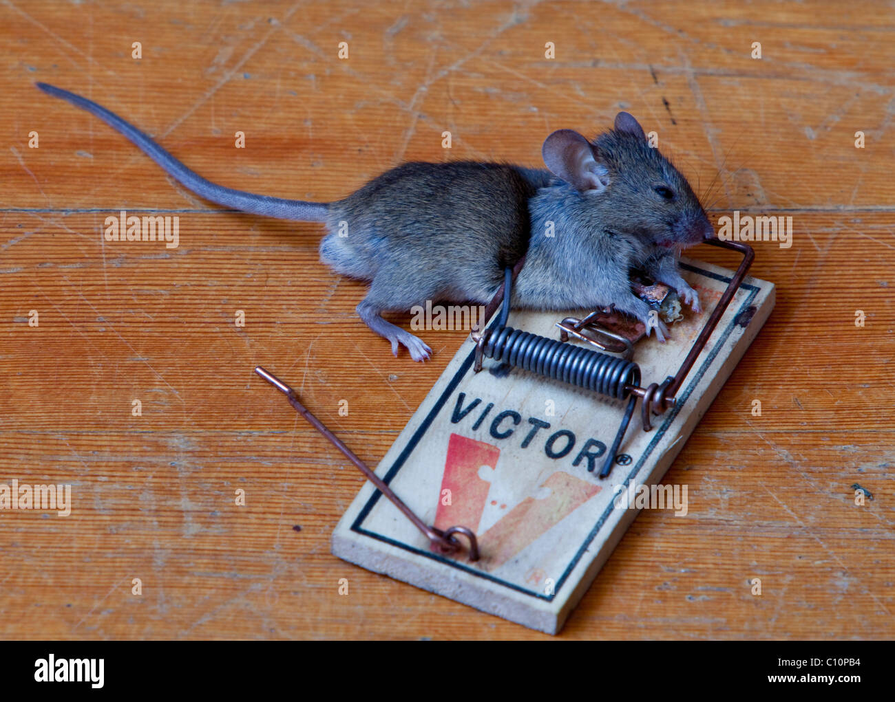 dead house mouse caught in stockfotos dead house mouse caught in bilder alamy. Black Bedroom Furniture Sets. Home Design Ideas