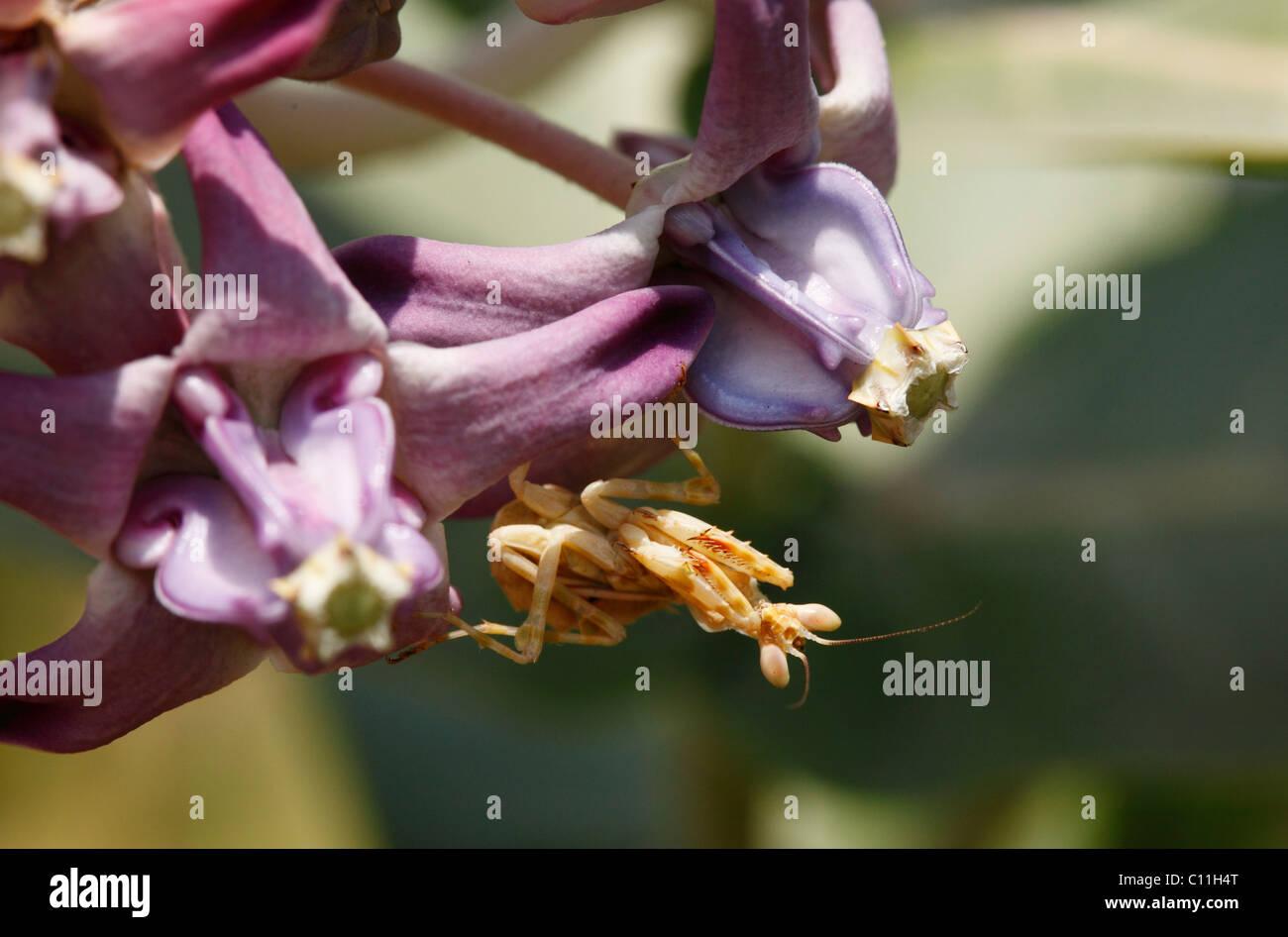 Mantis (Mantodea) auf Blume, Karnataka, Südindien, Indien, Südasien, Asien Stockbild