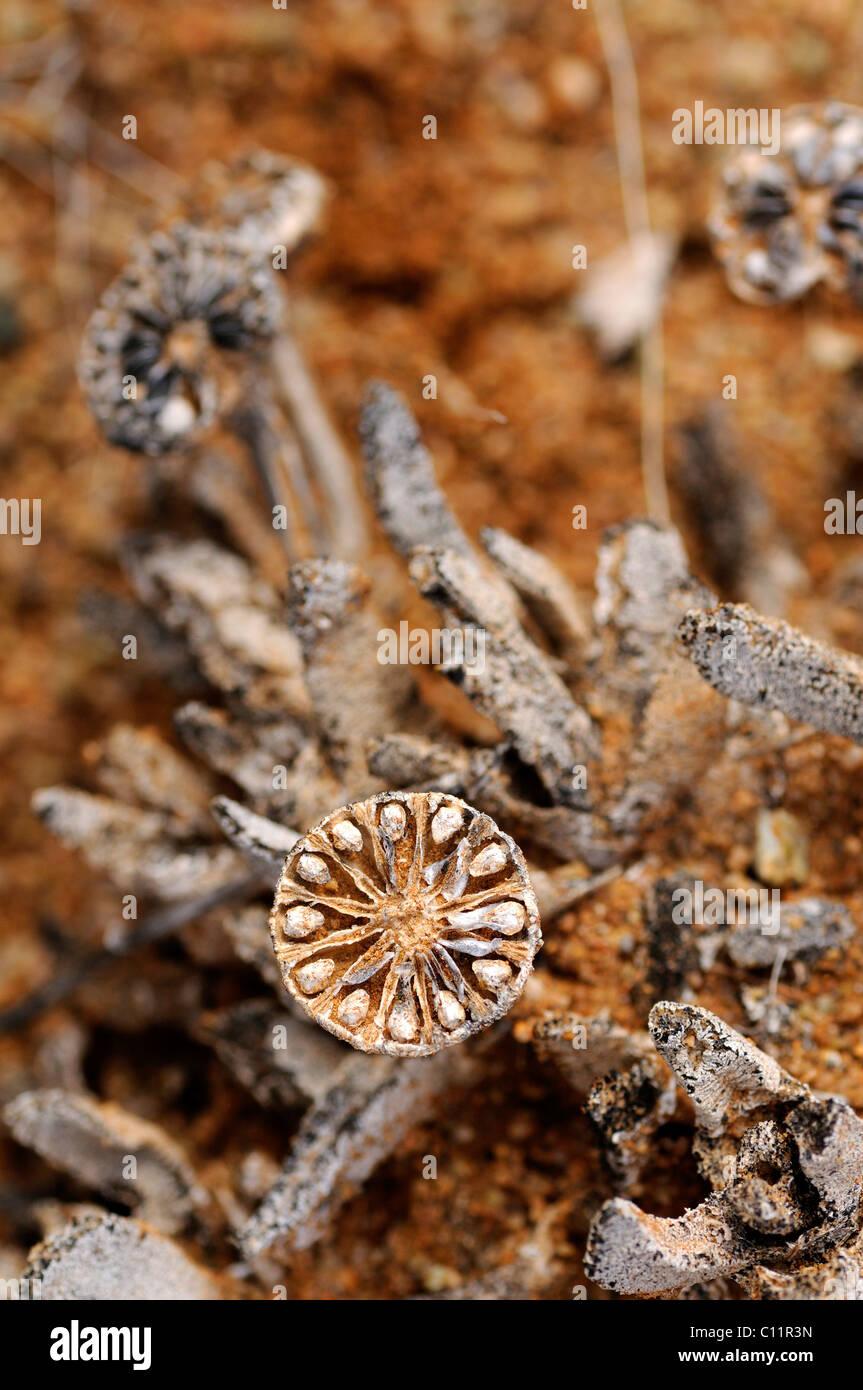 Offene, entleerte Samenkapsel von Leipoldtia, Richtersveld, Südafrika, Afrika Stockbild