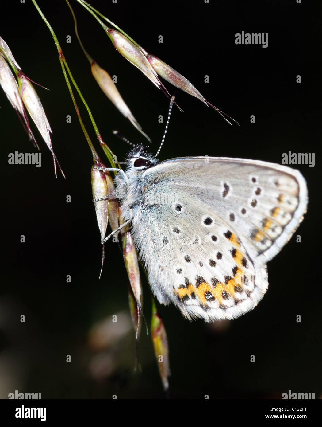 Schmetterling auf einen Strohhalm Stockfoto, Bild: 35081285 - Alamy