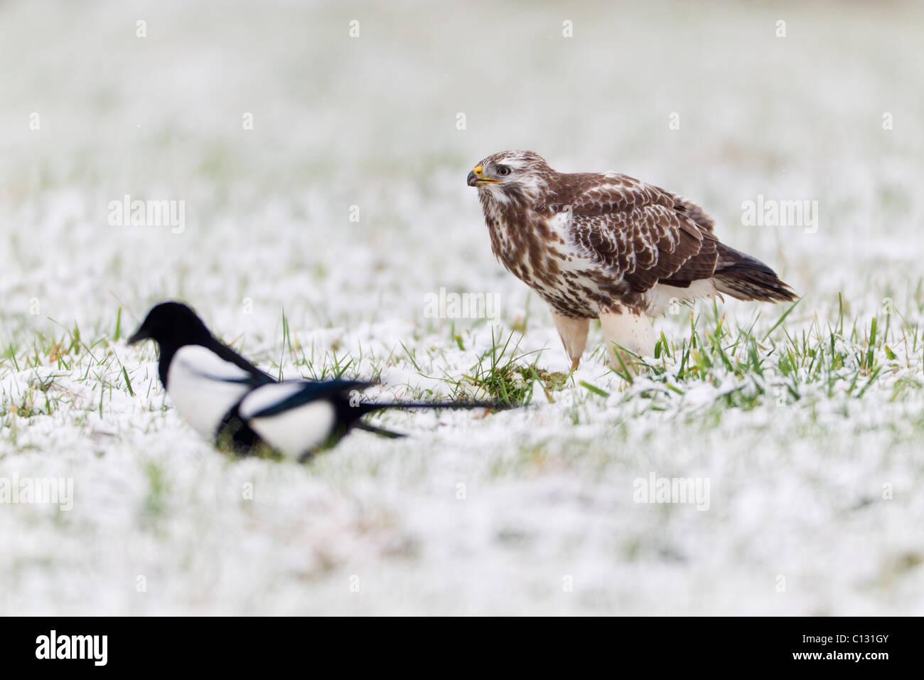 Mäusebussard (Buteo Buteo) und gemeinsame Elstern (Pica Pica), ernähren sich von AAS im Schnee Stockbild