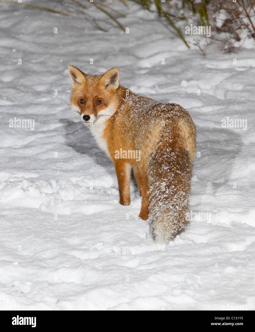 Europaischen Fuchs Vulpes Vulpes Im Garten In Schneeflocken