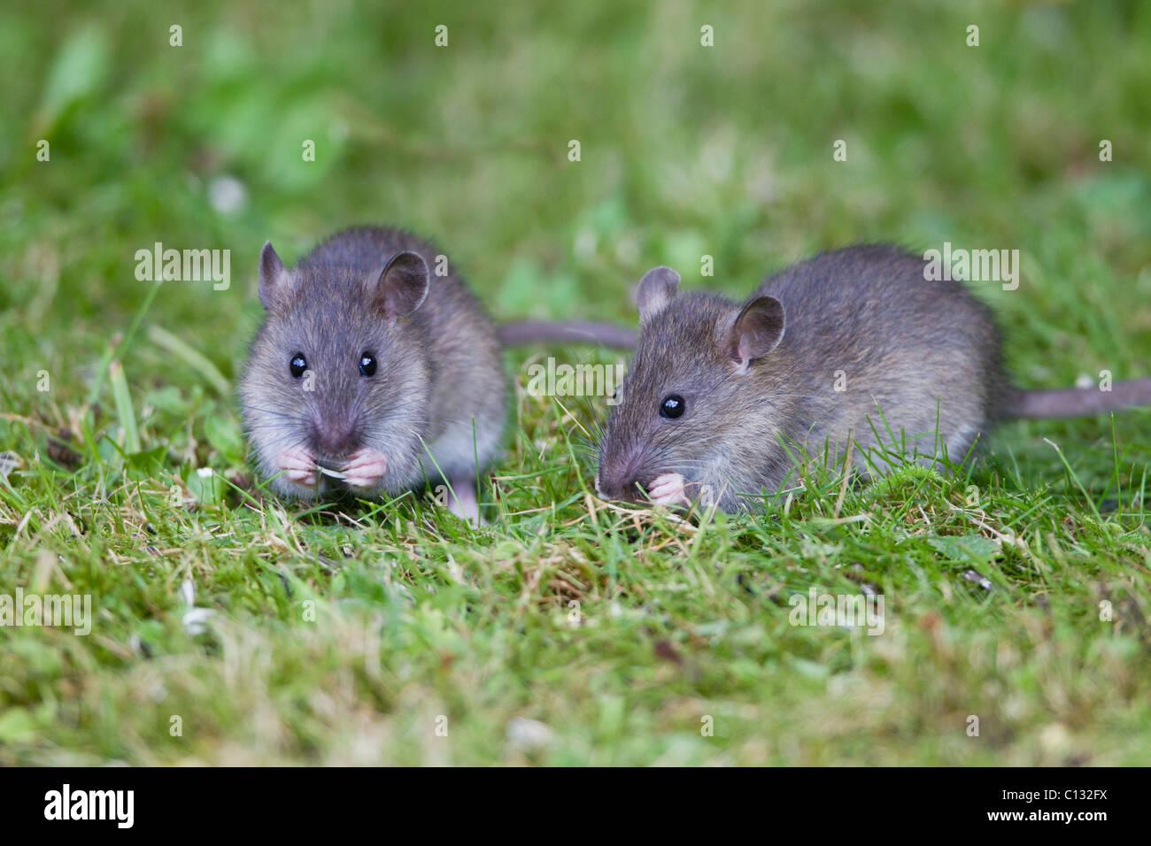 Brown-Ratten (Rattus Norvegicus), baby Tiere ernähren sich von Vogelfutter im Garten, Loer Sachsen, Deutschland Stockbild