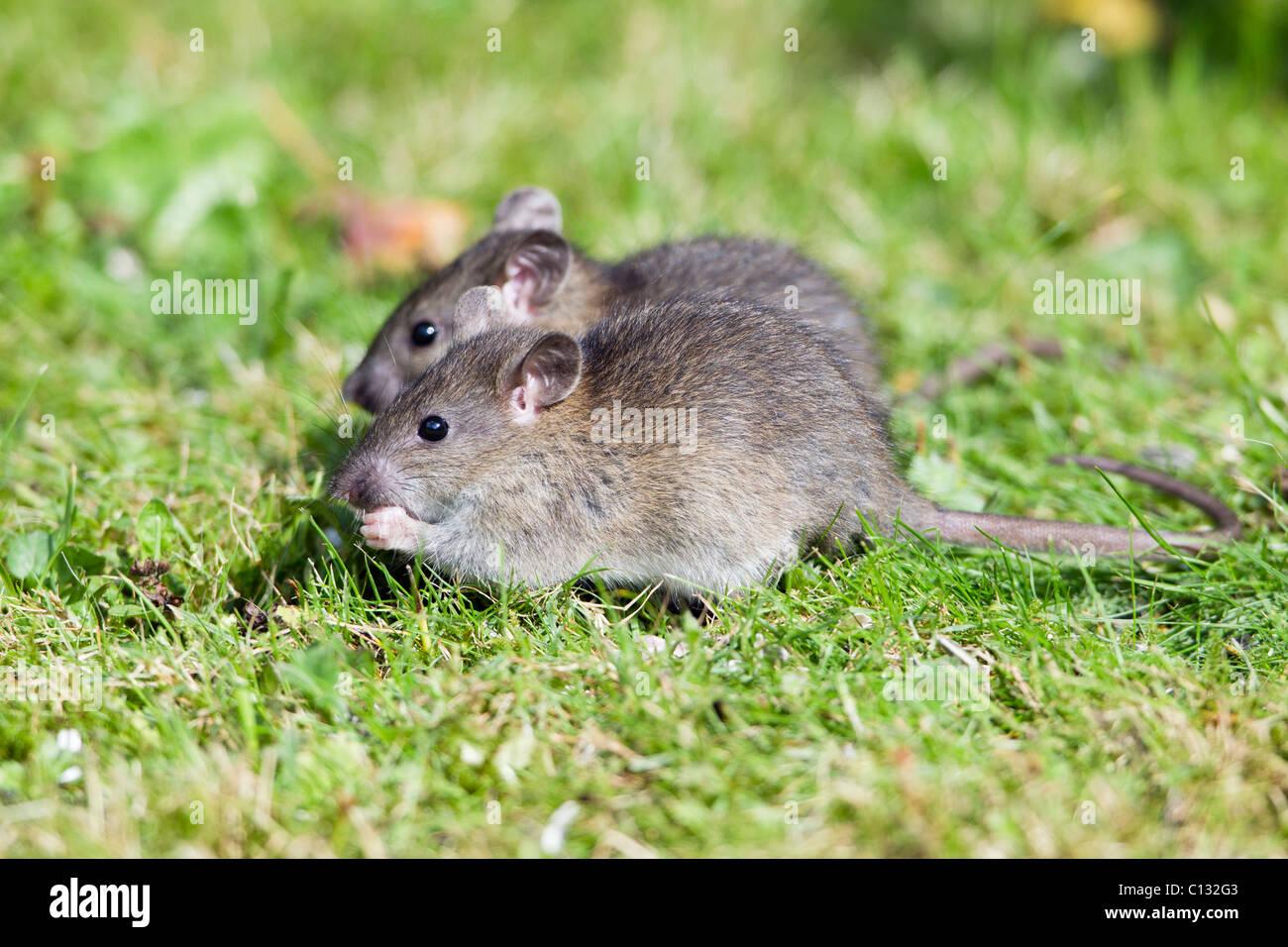 Braune Ratte Im Garten