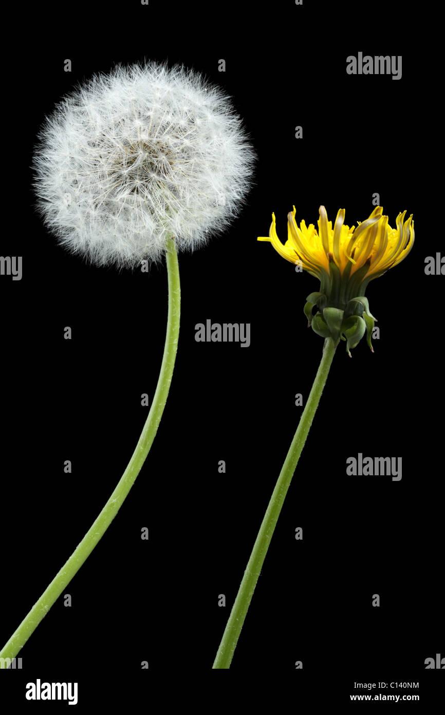 Zwei Löwenzahn-Blüte und getrocknet, isoliert auf schwarz Stockbild