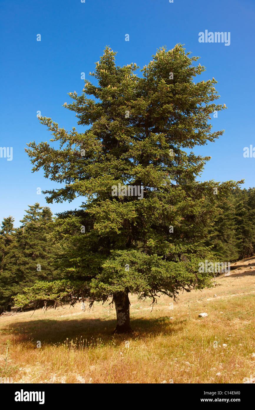 Die geschützten Kephallonia Kiefern der Berg Ainos, Kefalonia, Ionische Inseln, Griechenland. Stockbild