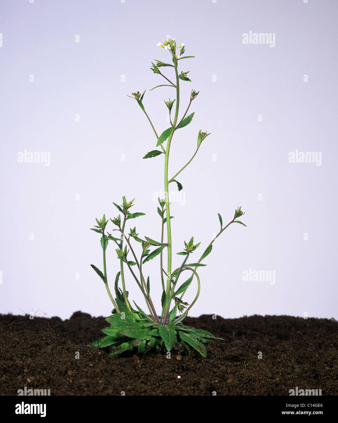 Thale Kresse (Arabidopsis Thaliana) blühende Pflanze Stockbild