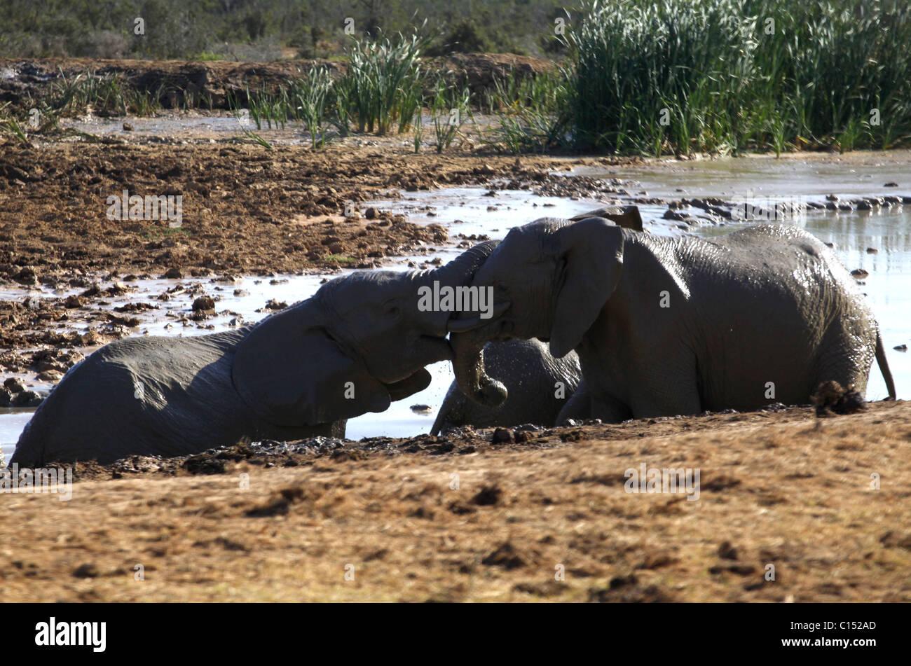 Elefanten Sperren gemeinsam ADDO Südafrika ADDO Nationalpark EASTERN CAPE Süd Afrika ADDO ELEPHANT NATIONAL Stockbild