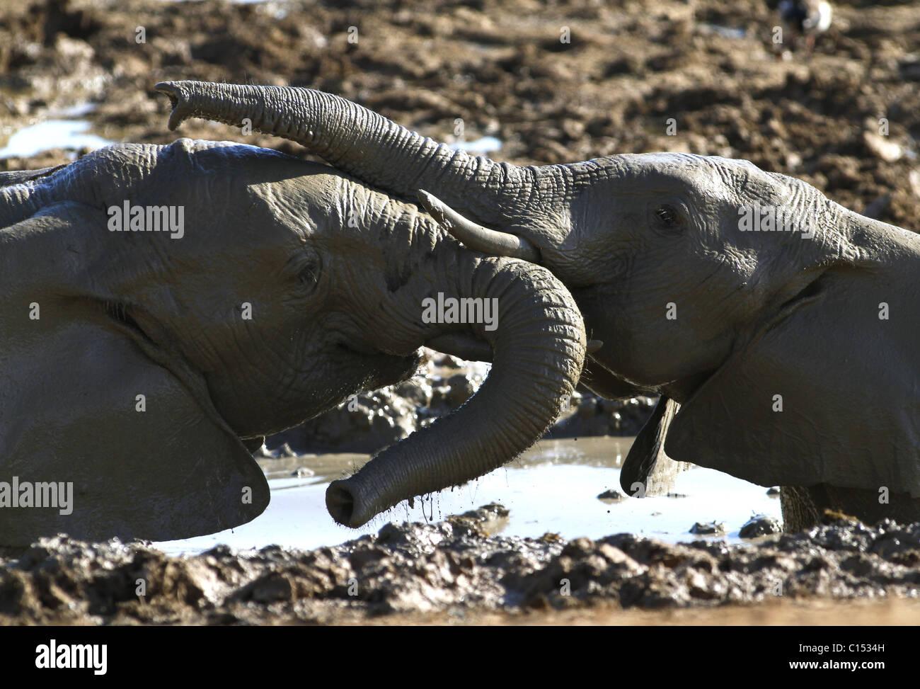 GREY afrikanischen Elefanten ADDO Südafrika ADDO NATIONAL PARK EASTERN CAPE in Südafrika ADDO ELEPHANT Stockbild