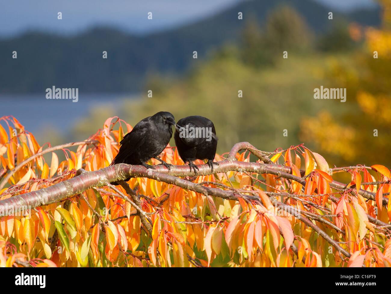 Zwei Krähen saßen auf Ast mit goldenen Blättern, die den Hof mit Blick auf Hardy Bay Vancouver Island Stockbild