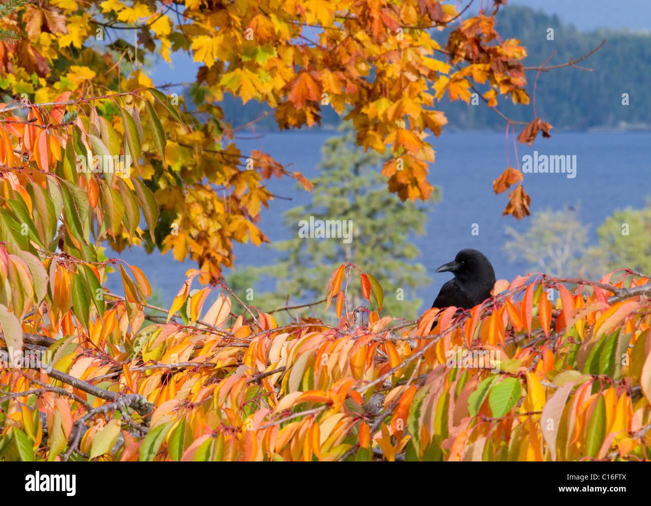 Krähe saß auf Ast mit goldenen Blättern mit Blick auf Hardy Bay Vancouver Island Stockbild