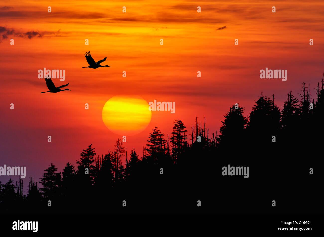 Kraniche Silhouette Fliegen gegen einen Sonnenuntergang in den Smoky Mountains Nationalpark in Tennessee Stockbild