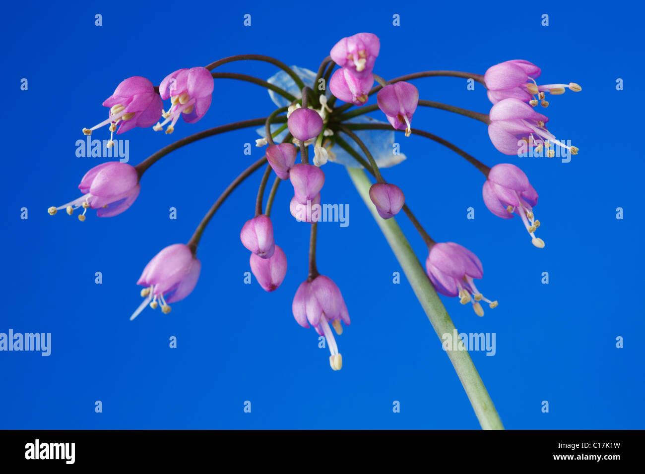 Allium Cernuum Nodding Zwiebel Lady Lauch Juni Stockfotografie Alamy