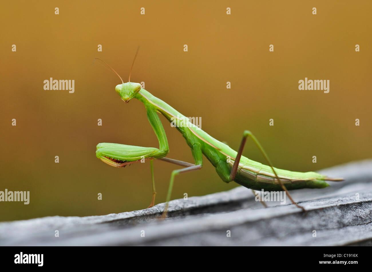 Gottesanbeterin (Mantodea) Stockbild