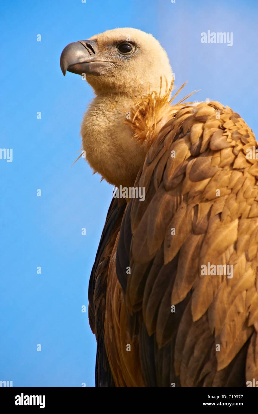 Euracian Gänsegeier (abgeschottet Fulvus), einheimische Vögel der Insel Cres, Beli, Insel Cres, Kroatien Stockbild