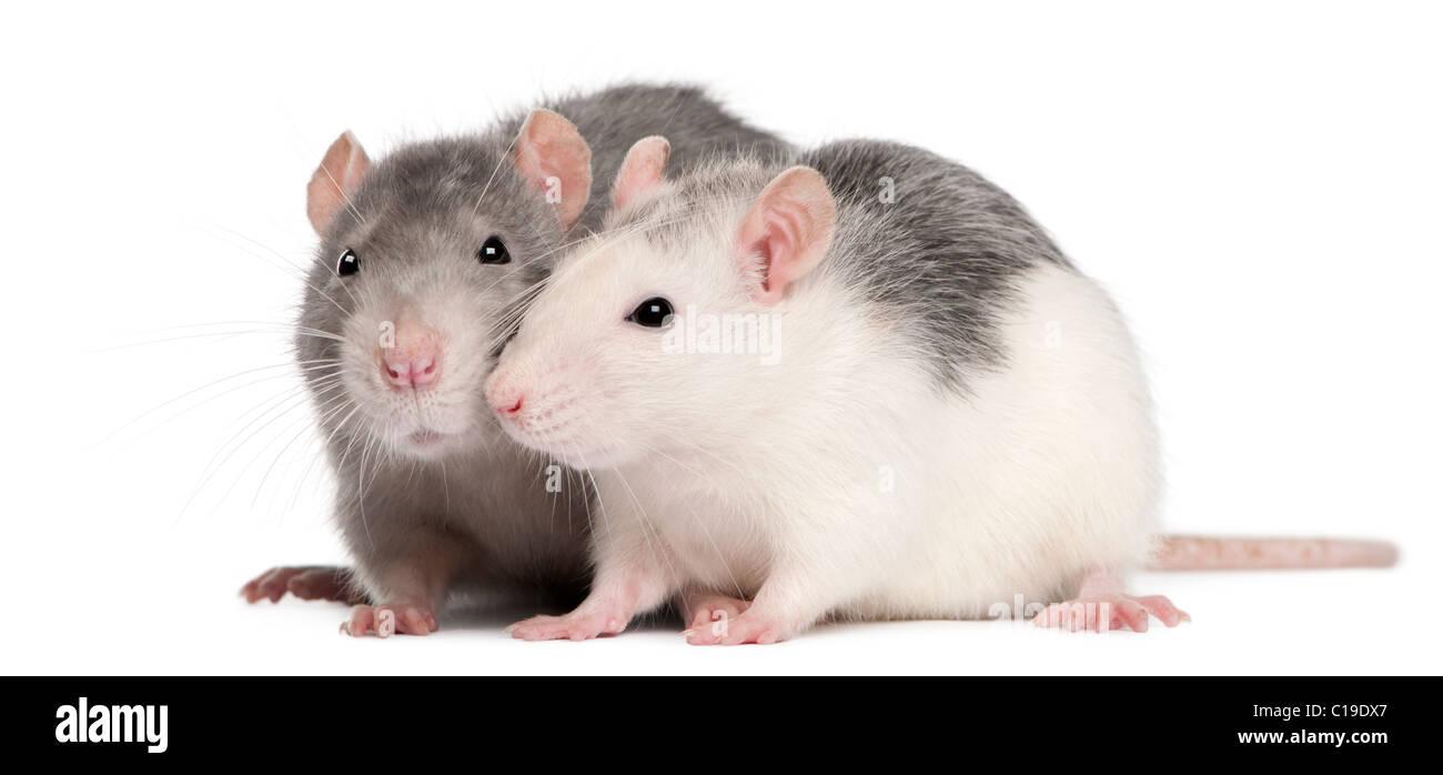 Zwei Ratten, 12 Monate alt, vor weißem Hintergrund Stockbild