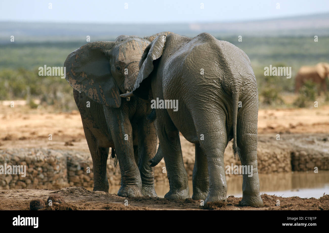 Braun afrikanische Elefanten ADDO NATIONAL PARK-Südafrika 30. Januar 2011 Stockbild