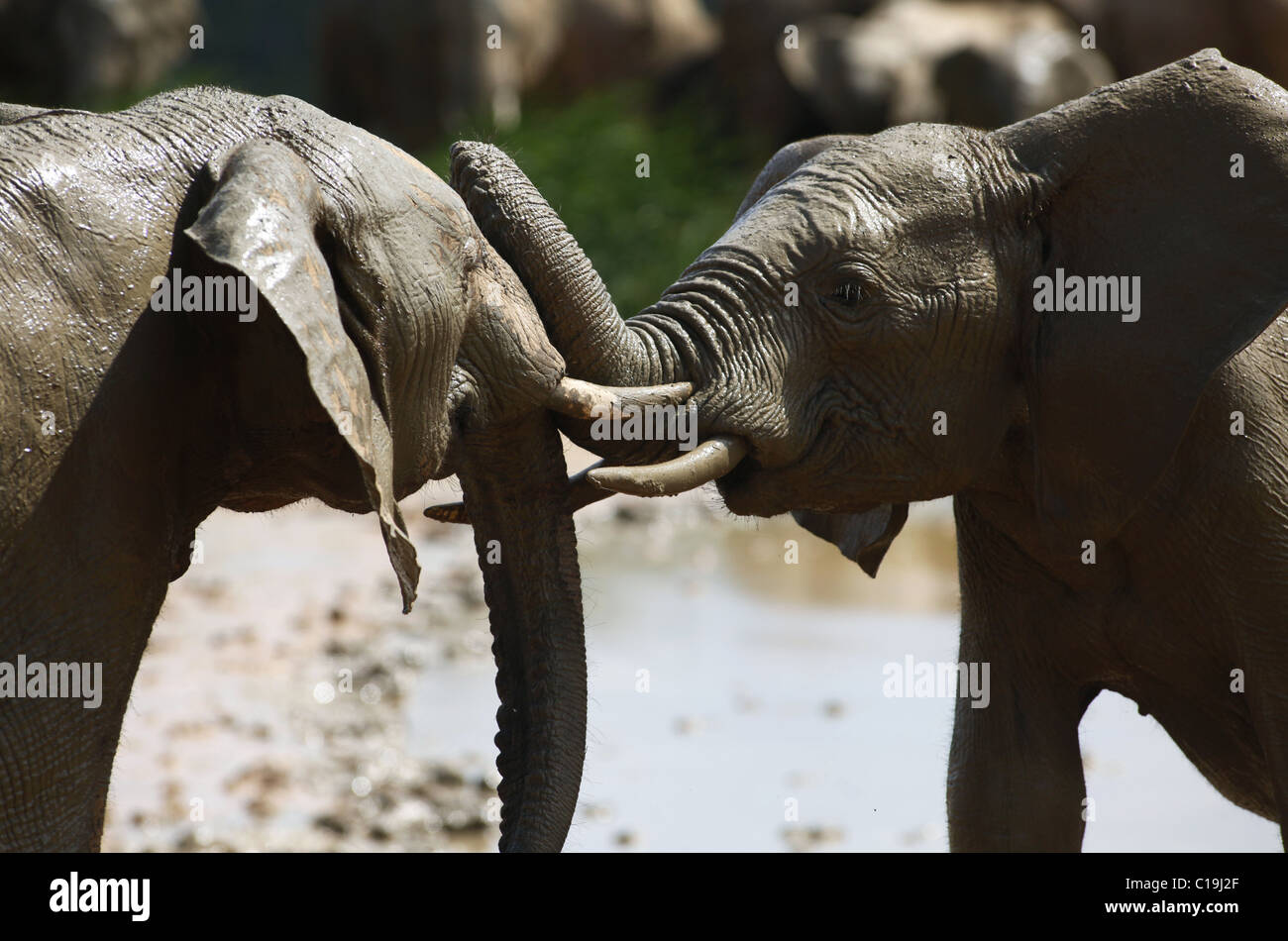 YOUNG BROWN afrikanischen Elefanten ADDO NATIONAL PARK-Südafrika 30. Januar 2011 Stockbild