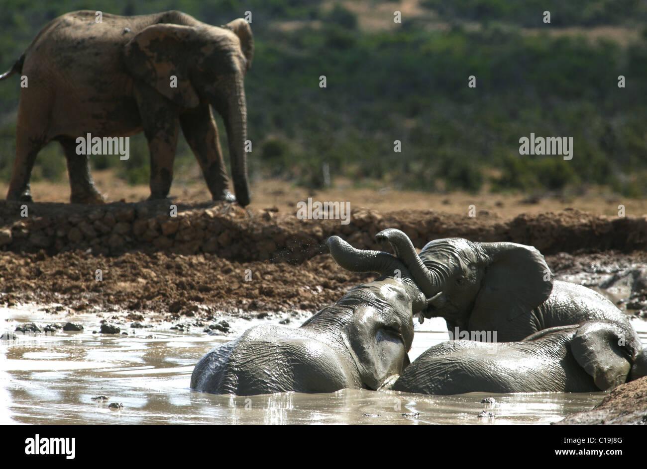 BRAUN & grau afrikanischen Elefanten ADDO NATIONAL PARK-Südafrika 30. Januar 2011 Stockbild