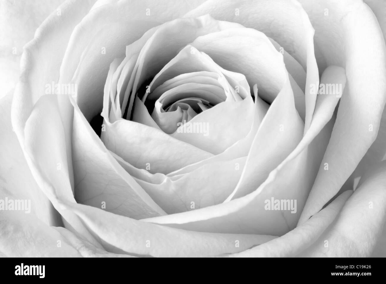black rose stockfotos black rose bilder alamy. Black Bedroom Furniture Sets. Home Design Ideas