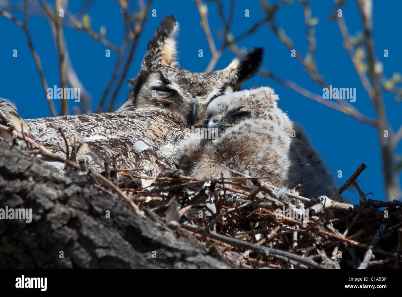 Großen Uhus Bubo Virginianus Erwachsenen & Küken auf nisten Monte Vista National Wildlife Refuge Colorado Stockbild