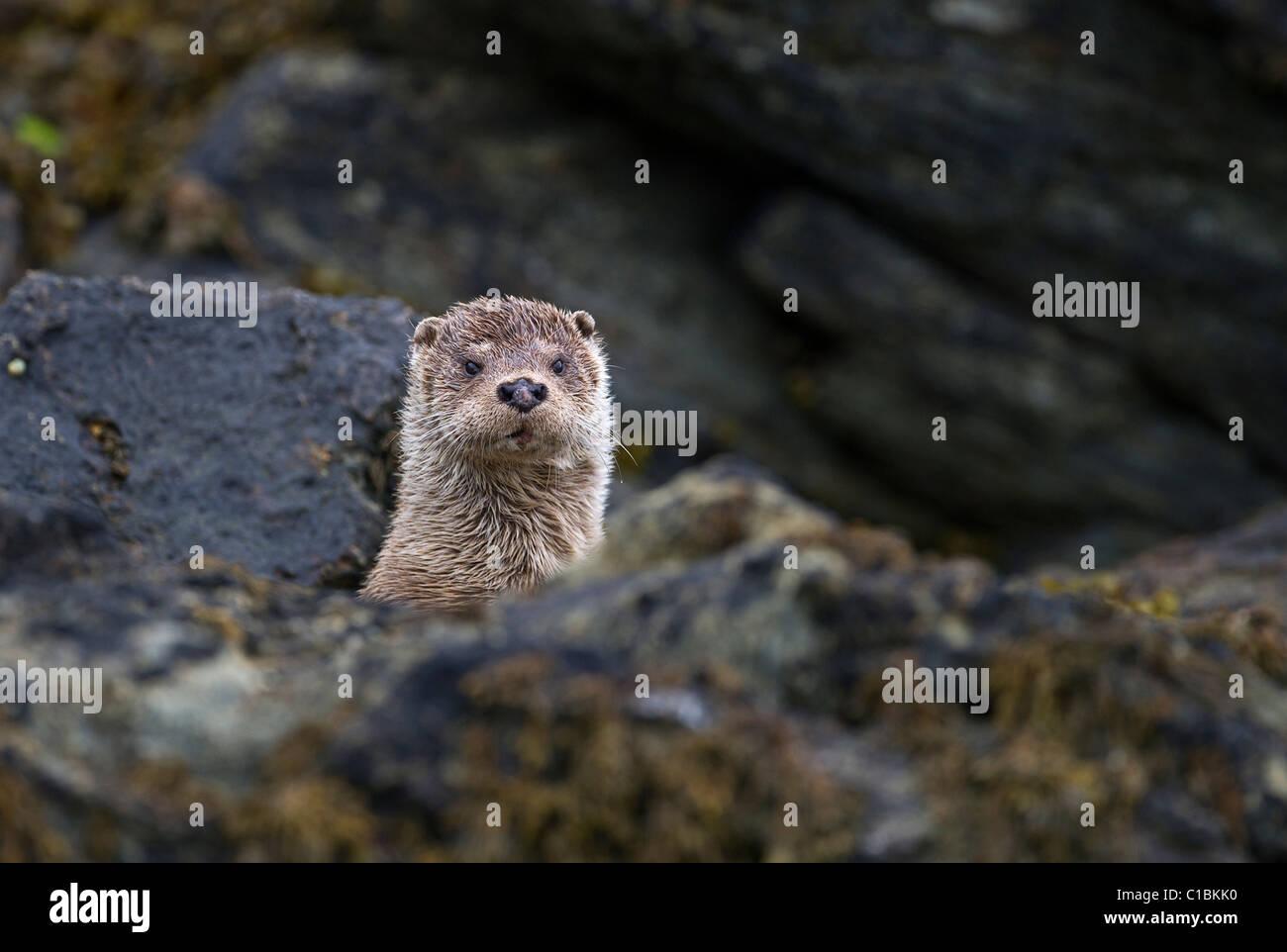 Fischotter Lutra Lutra weibliche Shetland-Juni Stockbild