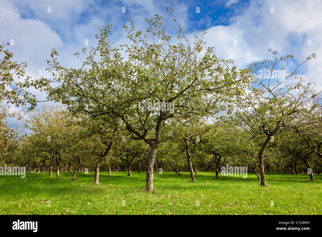Apfelplantage Stockbild