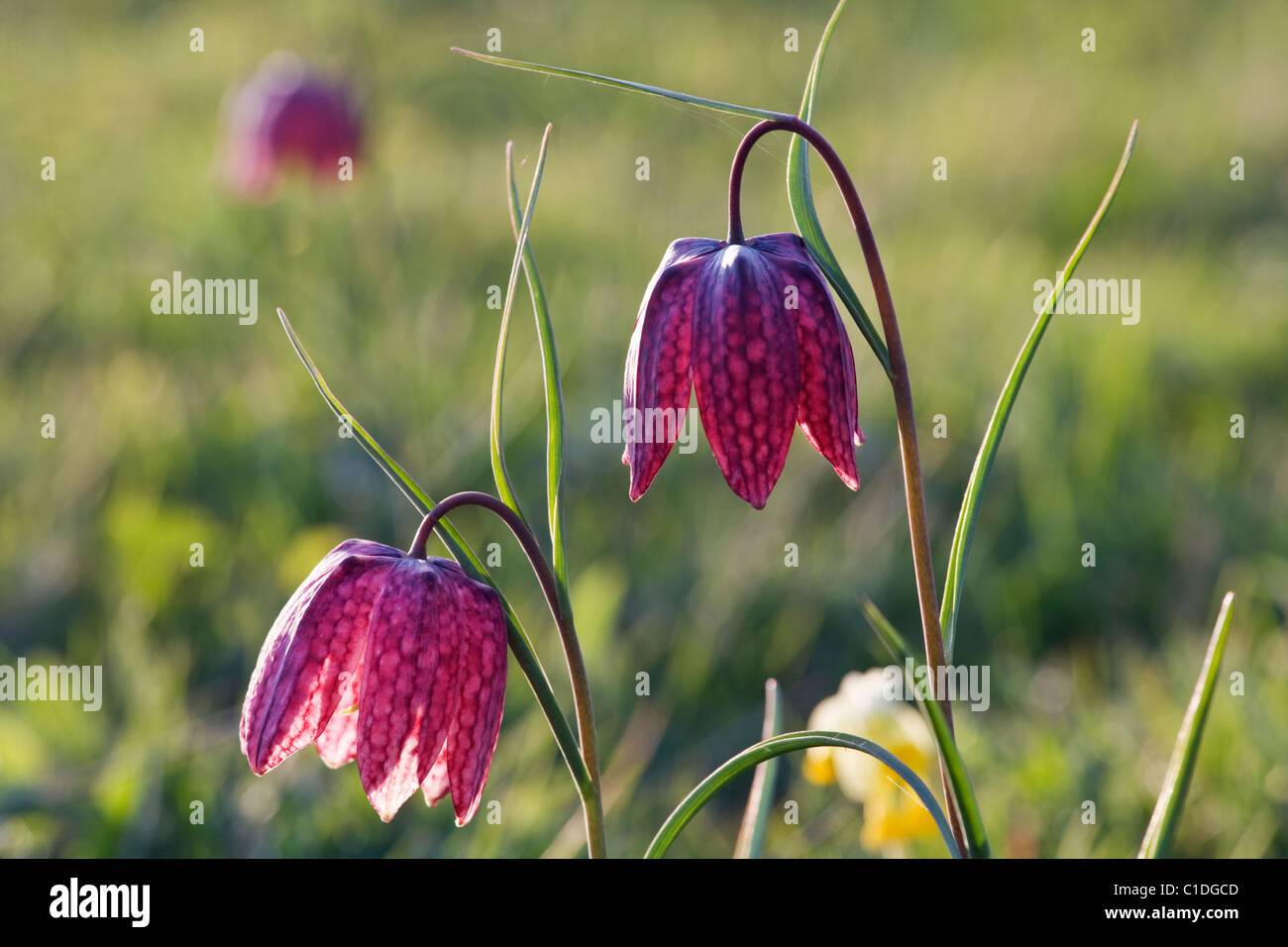 Fritillaria Meleagris Stockfotos und  bilder Kaufen   Alamy