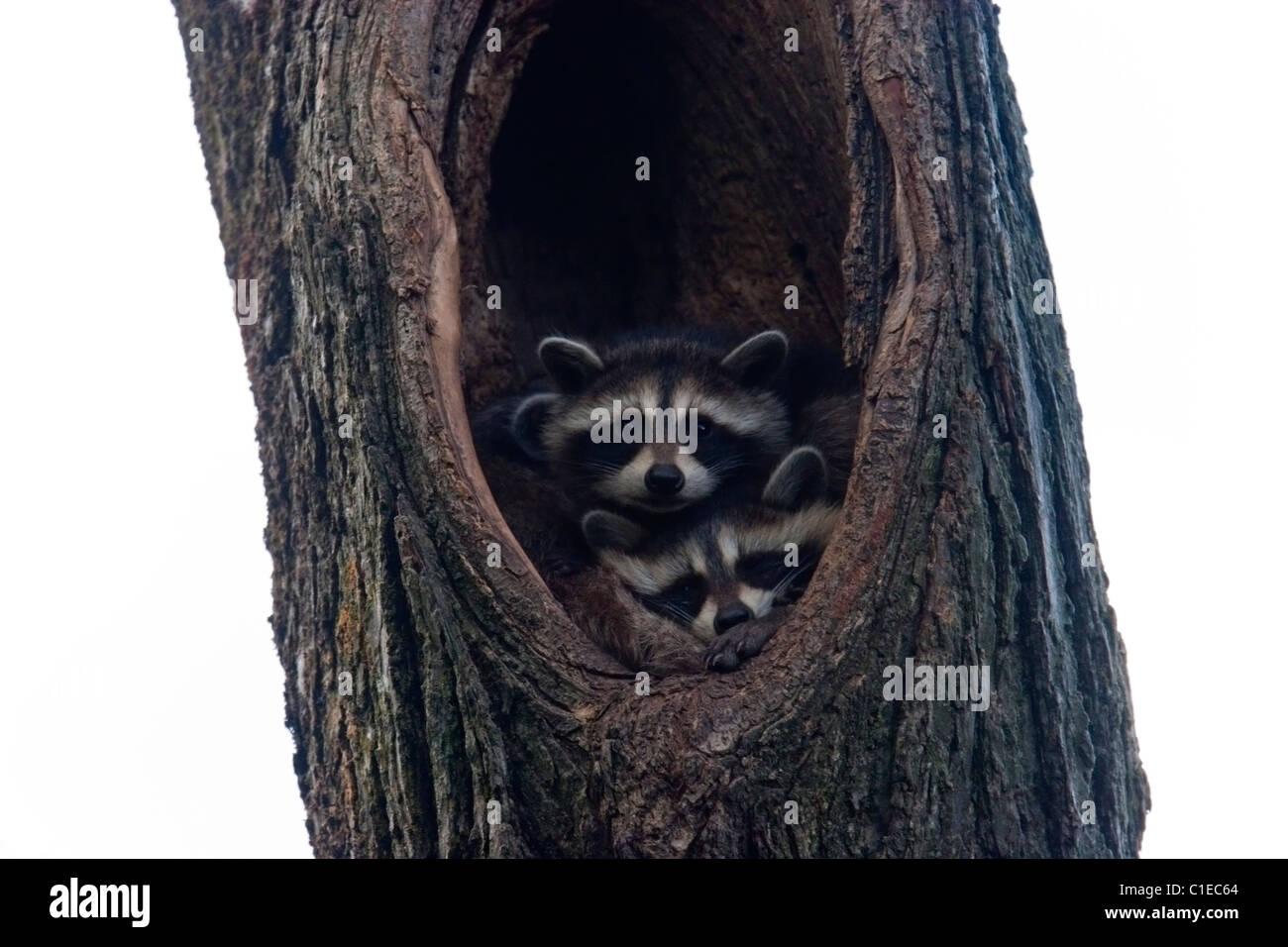 Baby Waschbären im hohlen Baum niedlichen Tiere wild Stockbild