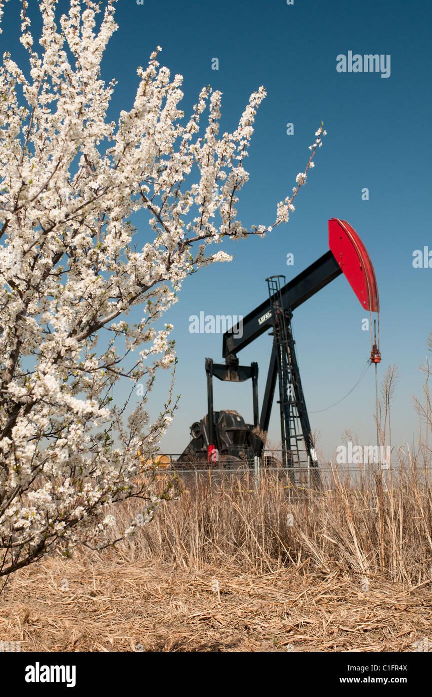 Ölquelle und Frucht Baum blüht im San Joaquin Valley in der Nähe von Bakersfield, Kalifornien USA Stockbild
