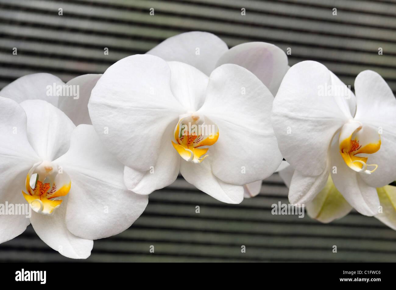 Weiße Orchideen Stockbild