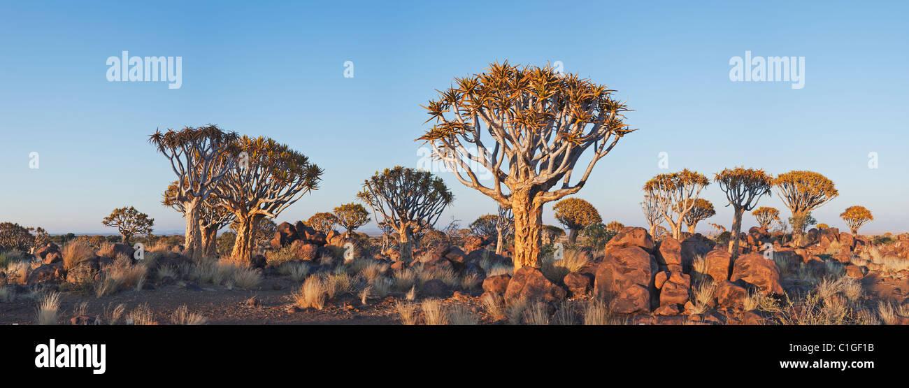 Köcher (Aloe Dichotoma) Baum in der untergehenden Sonne Stockfoto