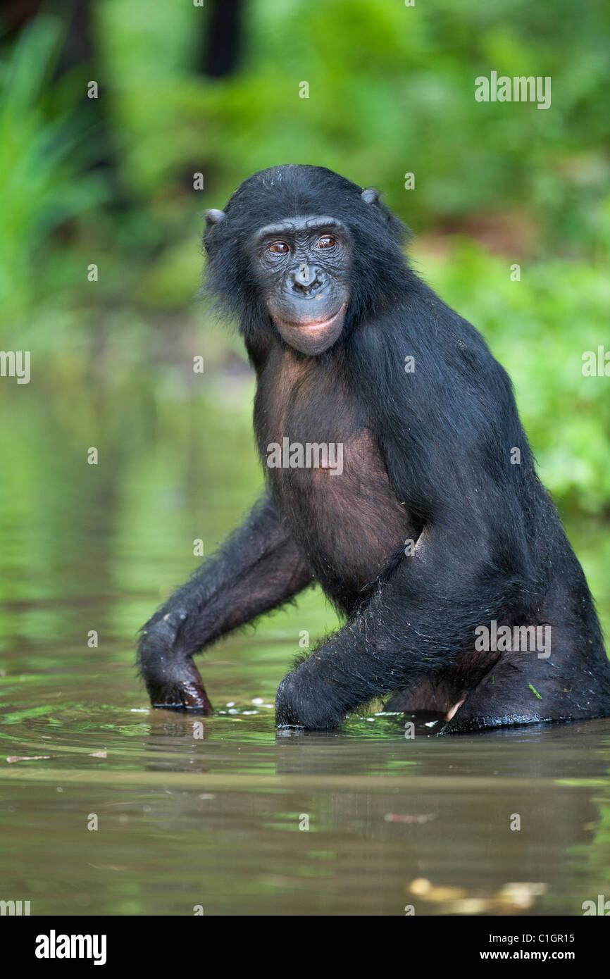 Bonobo-Schimpansen am Heiligtum Lola Ya Bonobo, demokratische Republik Kongo Stockfoto