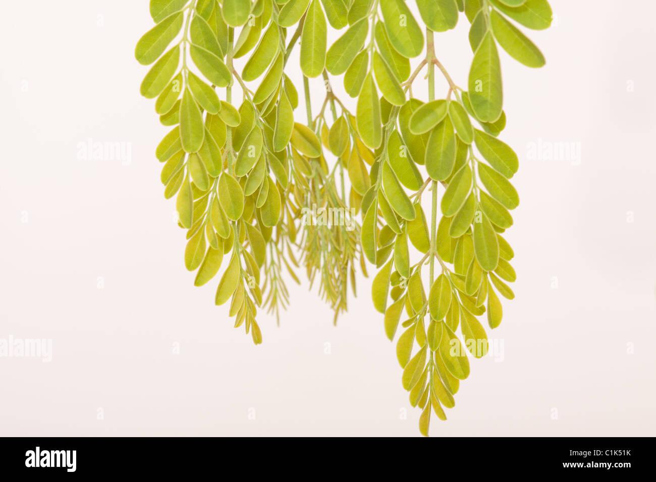 Makroaufnahme Von Moringa Blatter Moringa Oleifera Der Baum Des