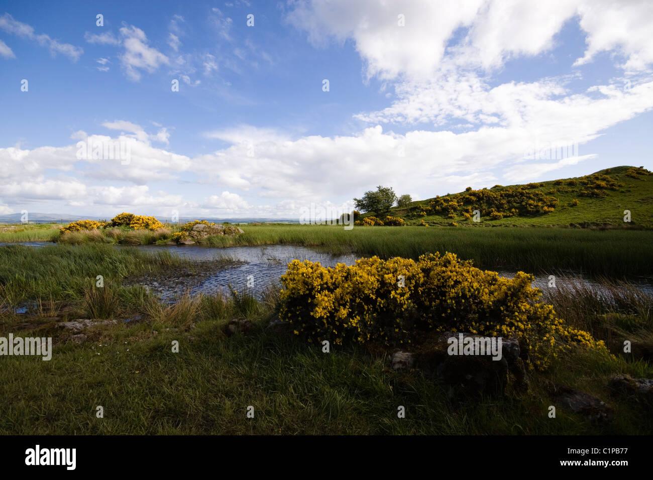 Schottland, Smailholm, Ginster wächst in Landschaft in der Nähe von stream Stockbild