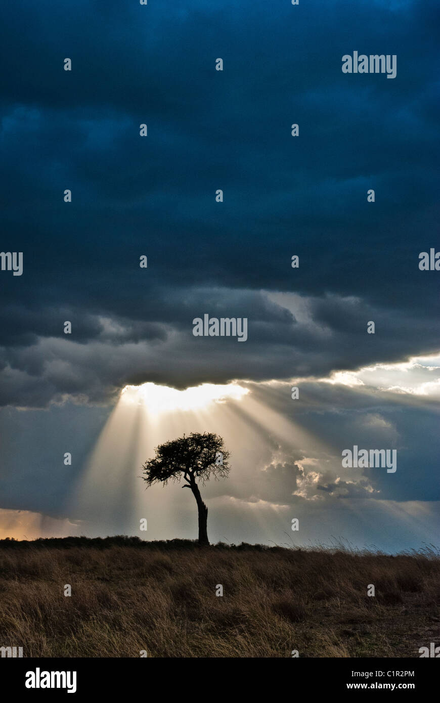Einsame Akazie, Sturm und Sonnenstrahlen, Masai Mara National Reserve, Kenia, Afrika Stockbild