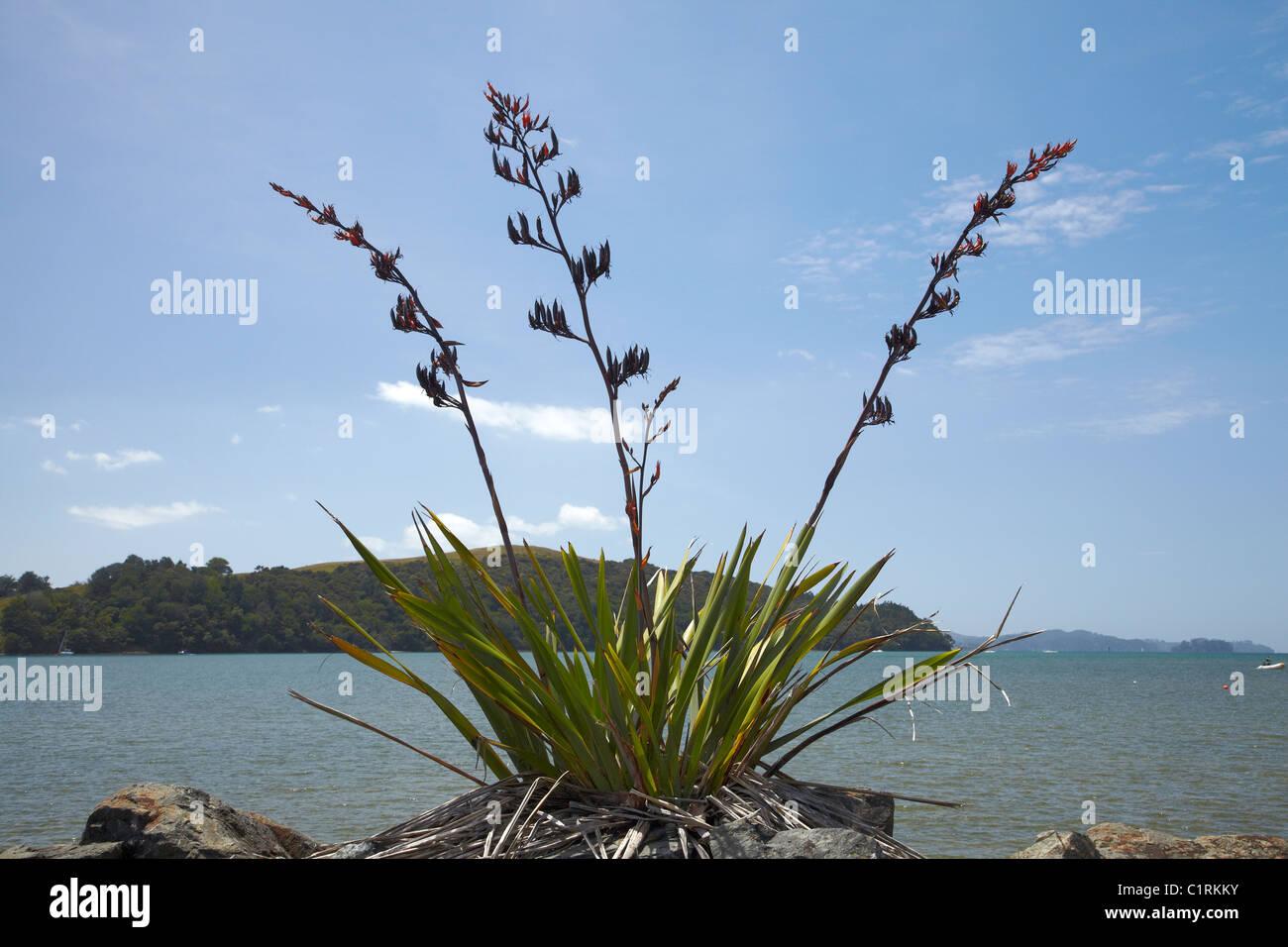 Bush Flachs (Phormium Tenax), Sandspit, in der Nähe von Warkworth, Region Auckland, Nordinsel, Neuseeland Stockfoto