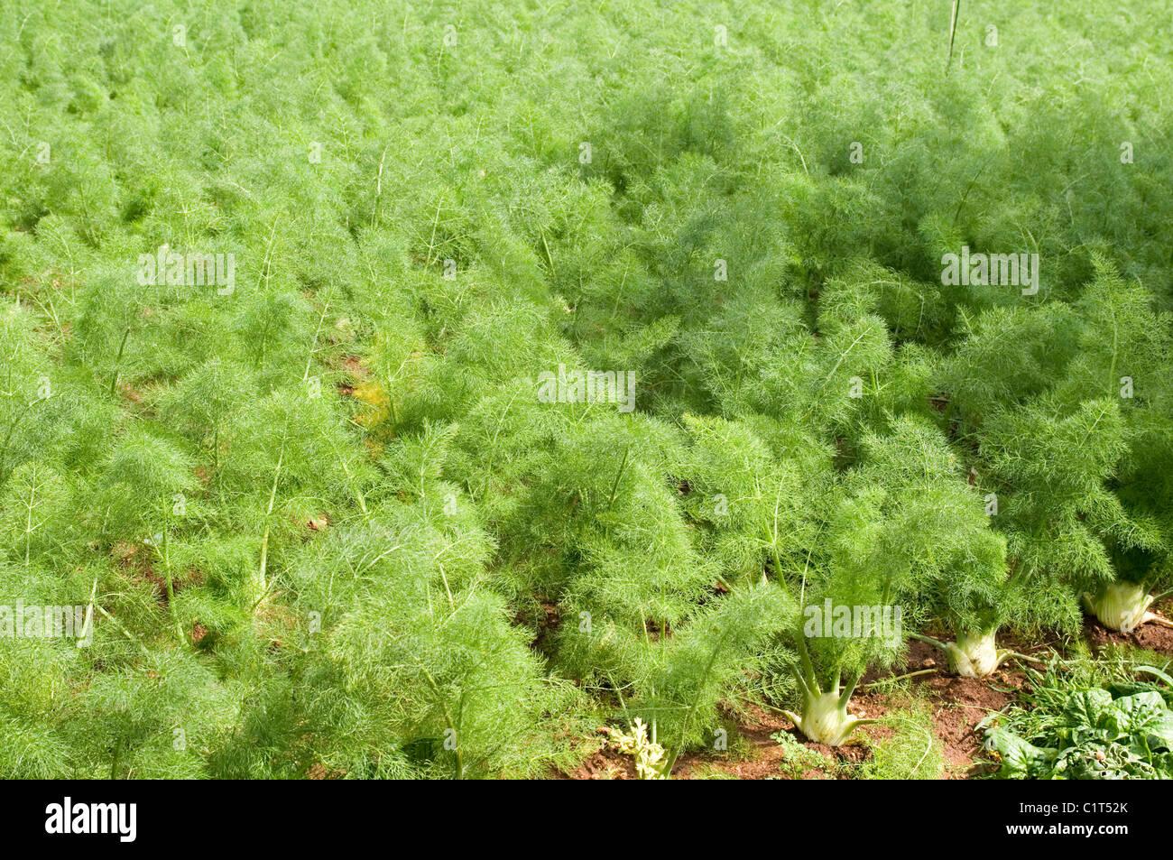 Fenchel Foeniculum Vulgare Apiaceae Kraut Gemüse Gemüse Mediterrane Lampen  Top Tops Bereich Blumenfelder Wachsen Wachsenden Stamm Ro