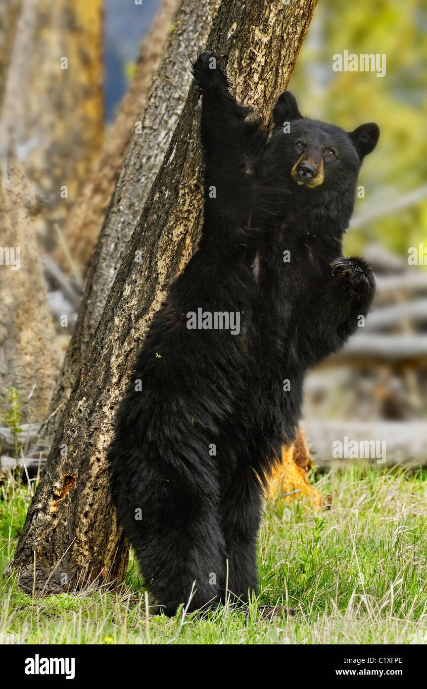 Stehender Schwarzbär Stockbild