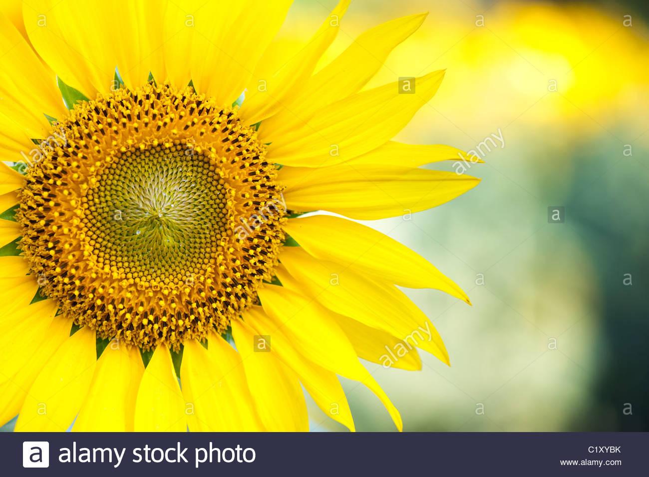 Sonnenblume in der indischen Landschaft, Andhra Pradesh, Indien Stockbild