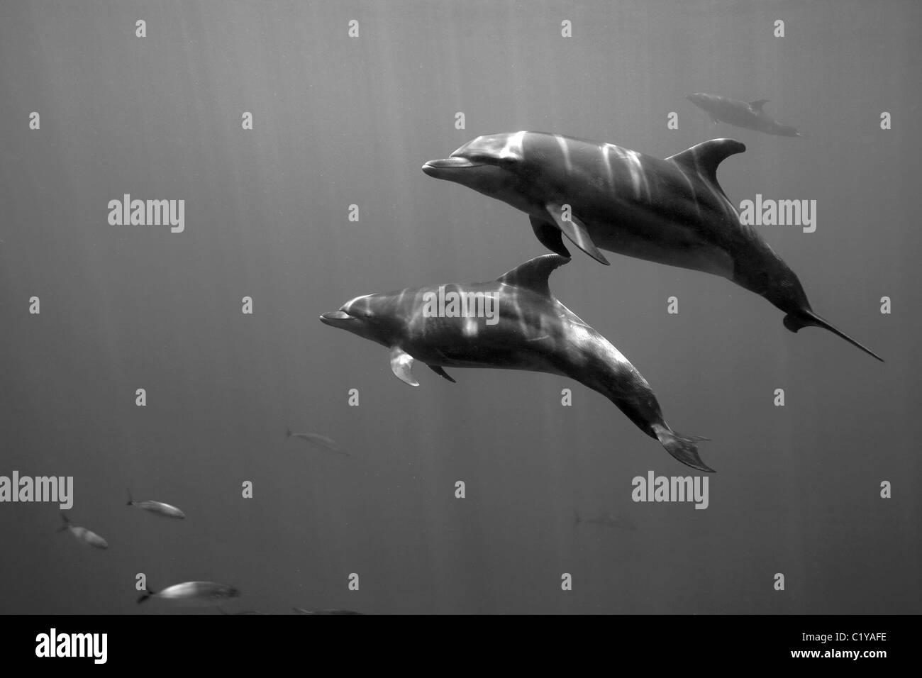 Ein paar Delfine schwimmt durch die Dos Amigos Grande Tauchplatz in der Nähe der Cocos-Insel vor der Küste Stockbild