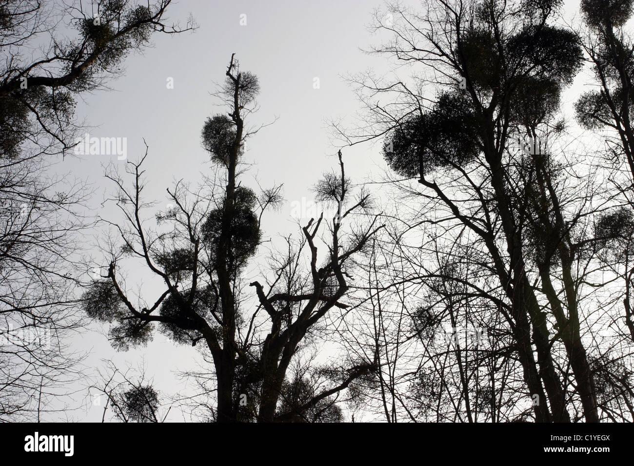 Silhouette der Mistel in den Baumkronen Stockbild