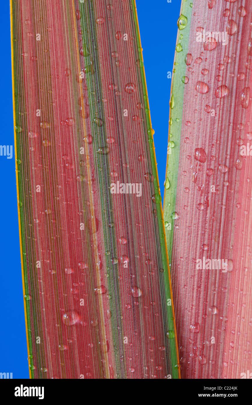 """Phormium """"Jester"""" Neuseeland Flachs Tropfen Wasser auf den Blättern Juni Stockfoto"""