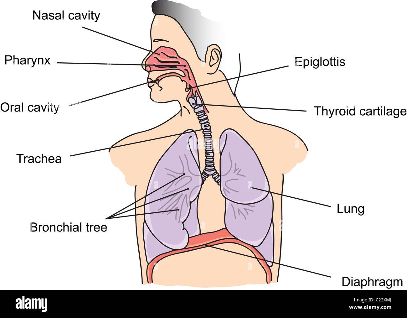 Aufbau der menschlichen Lunge und Atemwege illustration Stockfoto ...