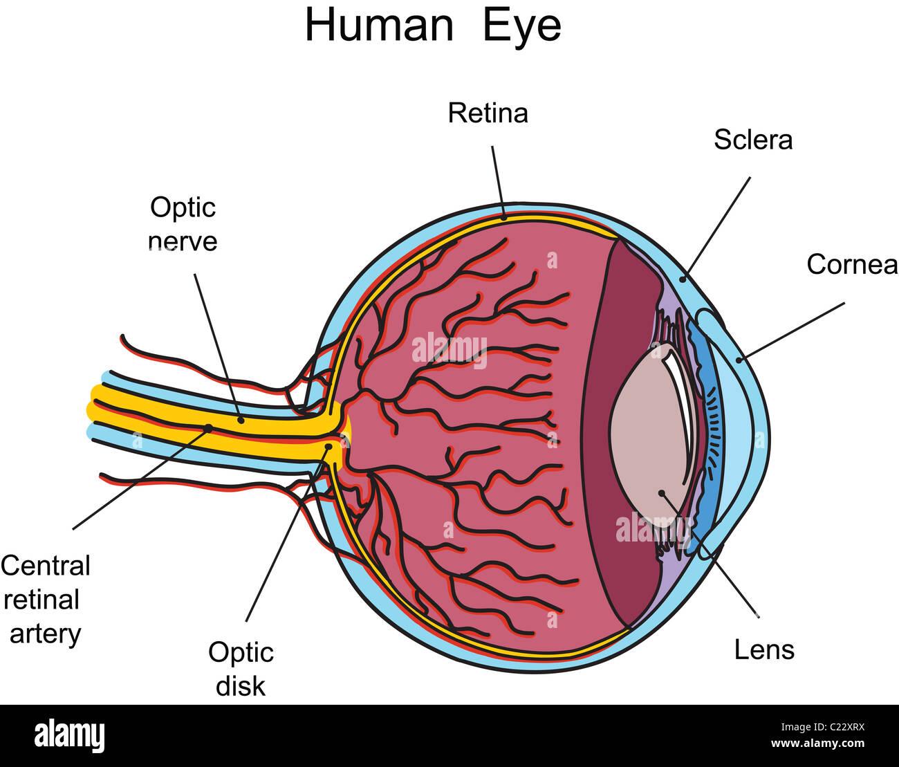 Menschliche Auge Abbildung Stockfoto, Bild: 35715006 - Alamy