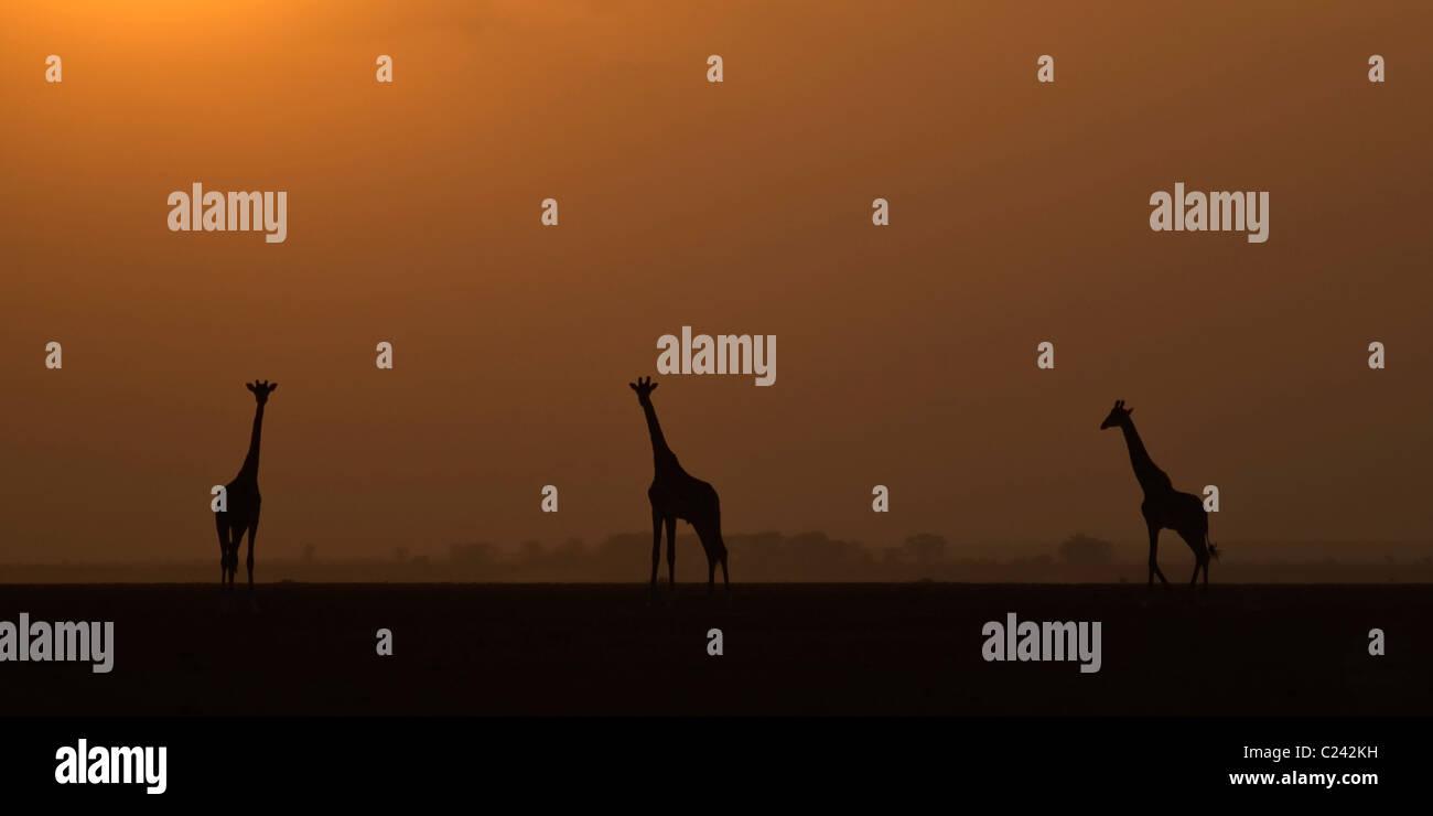 Ein Trio der Giraffe, bei Sonnenuntergang, auf den getrockneten Seegrund in Amboseli NP Stockfoto