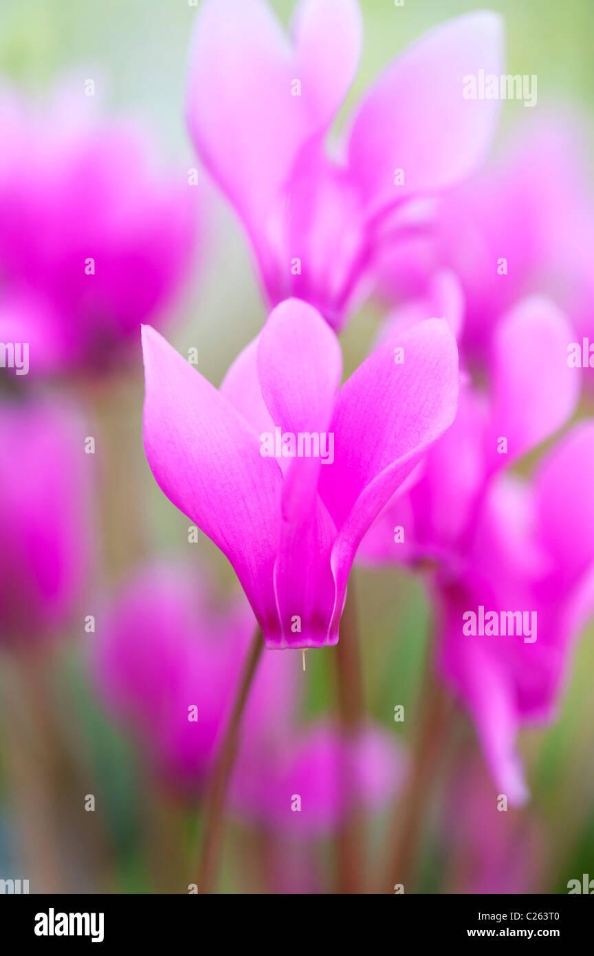 "Cyclamen Persicum var Persicum F. Puniceum ""Tilebarn Karpathos"" Blume Stockbild"